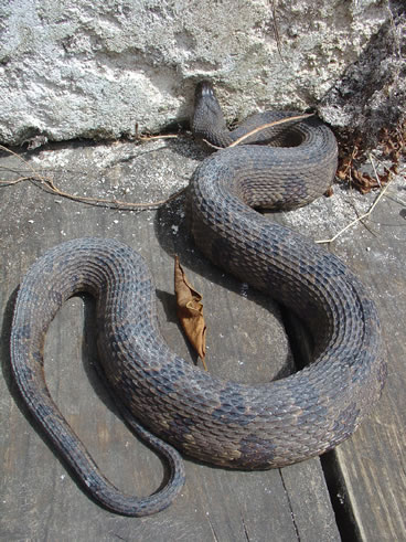 photo of brown water snake