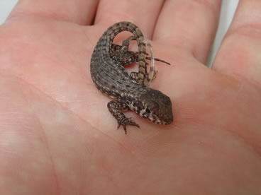 photo of curly tailed lizard