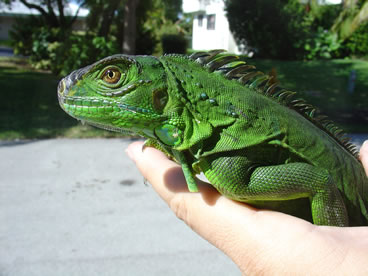 photo of green iguana