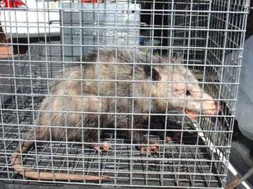 photo of opossum