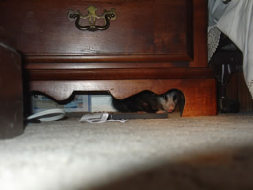 photo of opossum under nightstand