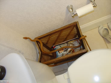 photo of yellow rat snake bathroom