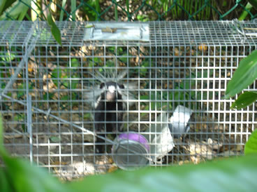 photo of e spotted skunk