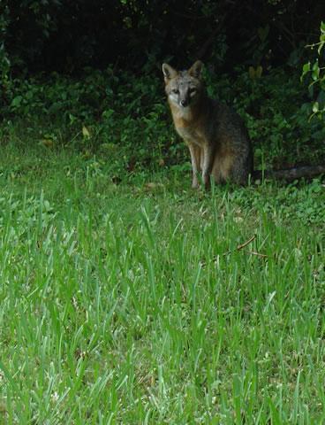 photo of fox in yard