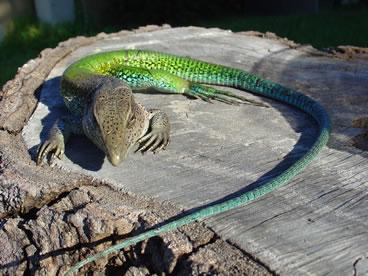 photo of green ameiva