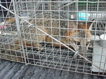photo of grey fox