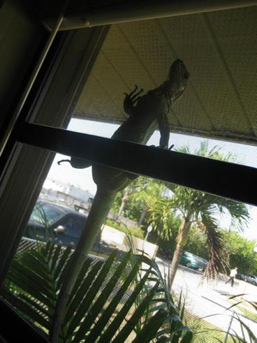 photo of iguana on window