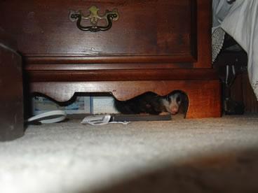 photo of opossum under nightstand