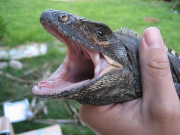 photo of spiny tail iguana