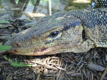 photo of water monitor